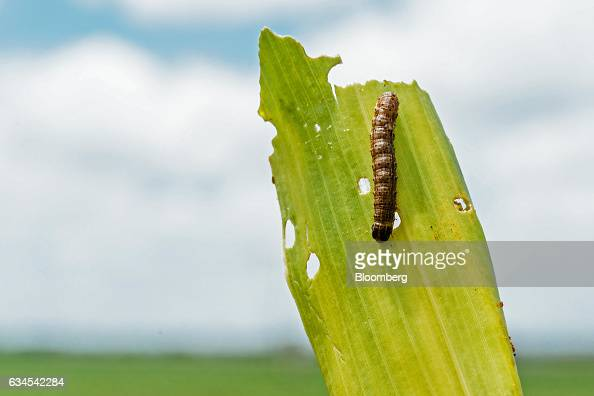 The caterpillar larva of a fall armyworm also known as Spodoptera frugiperda sits on the damaged leaf of a corn plant on a farm north of Pretoria...