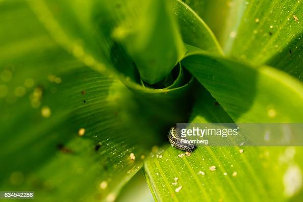 The caterpillar larva of a fall armyworm also known as Spodoptera frugiperda sits on the leaf of a corn plant on a farm north of Pretoria South...