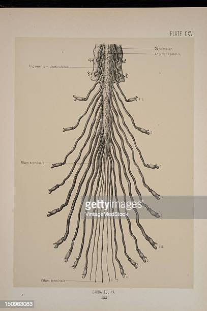 The cauda equina is a bundle of nerves occupying the spinal column below the spinal cord in most vertebrates that consists of nerve roots and...