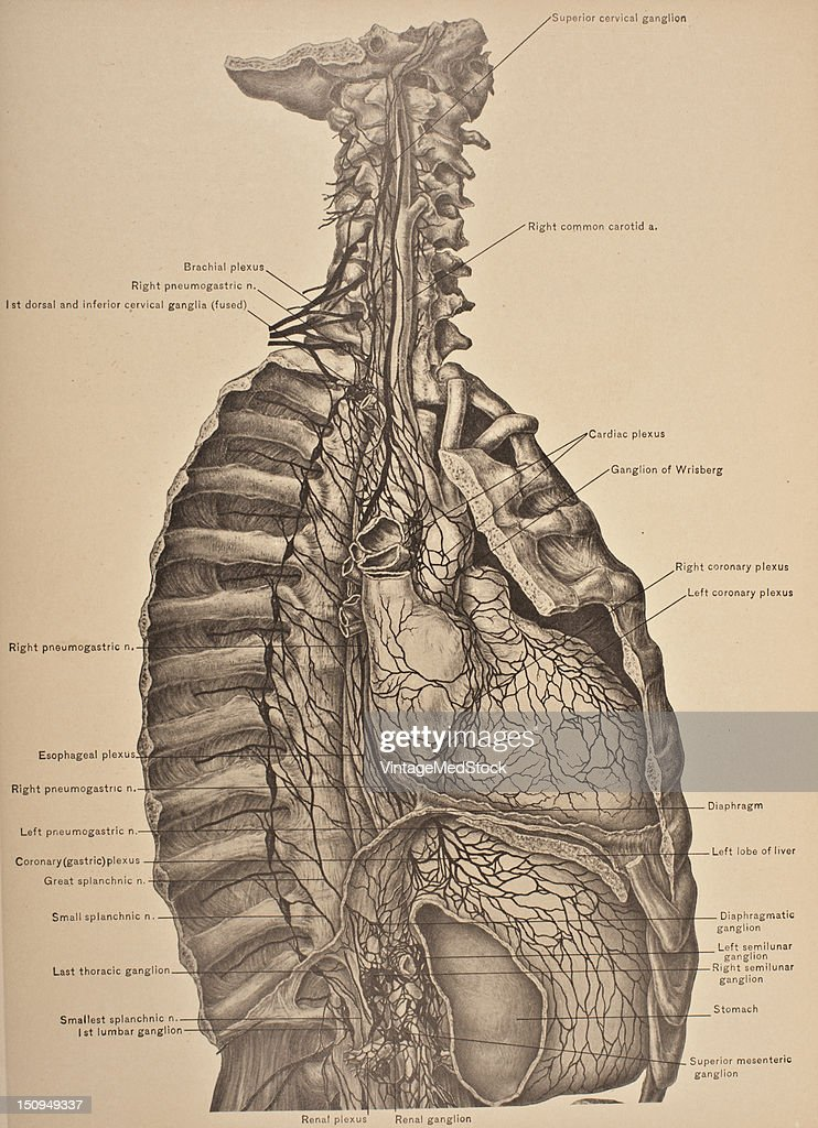 The cervical sympathetic nerves are a paired bundle of nerve fibers that run from the base of the skull to the coccyx 1903 From 'Surgical Anatomy The...