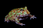 The chachoan horned frog, Ceratophrys cranwelli, isolated on black background