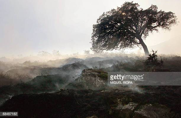 The chared remains of a forest is seen still smouldering after a wildfire 24 August 2005 near the village of Cerquido next Ponte de Lima northern...