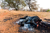 The charred remains of an African elephant slaughtered by poachers for bush meat and burned by National Park rangers to prevent the spread of Anthrax.