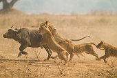 African Buffalo (Syncerus caffer) being caught by Lions (Panthera leo).  Taken in Mana Pools National Park, Zimbabwe