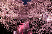 The cherry blossoms Special light up in Tokyo.