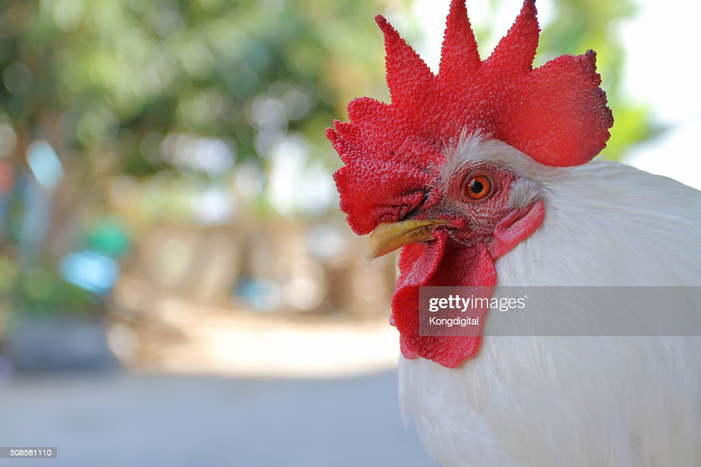 the chicken : Stock Photo