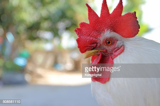 the chicken : Stockfoto