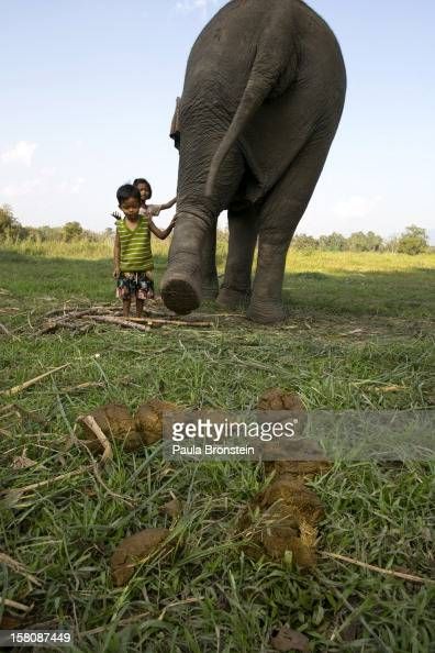The children of a mahout play with an elephant next to elephant dung containing coffee beans at an elephant camp at the Anantara Golden Triangle...