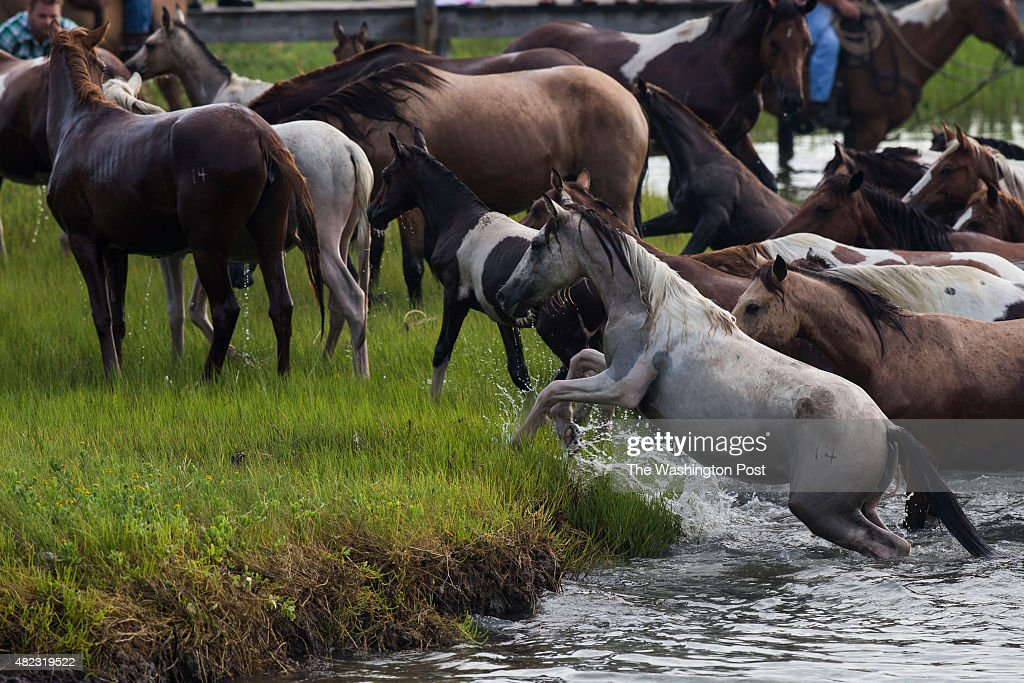 The Chincoteague Ponies make their way onto the shoreline after swimming across the Assateague Channel during the 90th annual pony swim on...