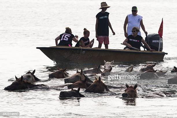 The Chincoteague Ponies swim across the Assateague Channel during the 90th annual pony swim on Chincoteague Island Va on Wednesday July 29 2015