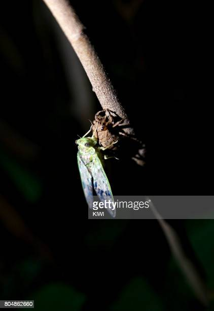 The cicada is eclosion