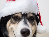 The close up photo of a dog wearing red Santa Claus hat during christmas and new year long holidays. The dog is kind of happy with her smiles.