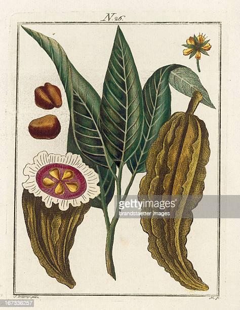 The cocoaplant From Die Welt in Bildern Band 3 Baumeister Vienna 1790 Die Kakaopflanze Die Welt in Bildern Band 3 Baumeister Wien 1790