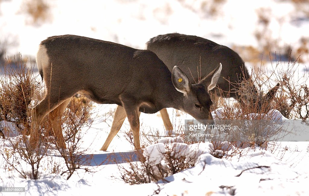 The Colorado Division of Wildlife is testing the mule deer population living in and around Estes Park for Chronic Wasting Disease Yellow tags in the...