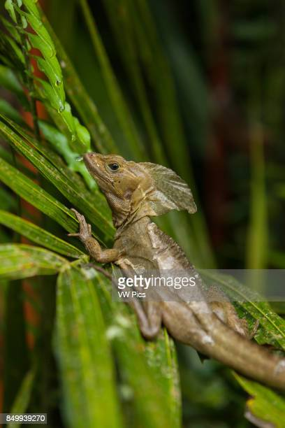 The Common Basilisk Brown Basilisk or Striped Basilisk Basiliscus vittatus in Costa Rica can run on water or stay submerged underwater for more than...