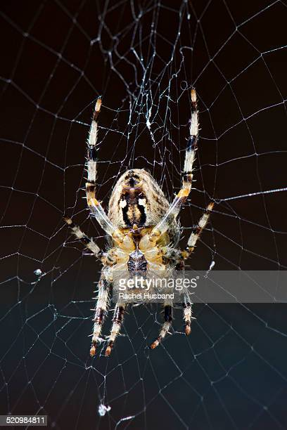 The common Garden Orb Spider
