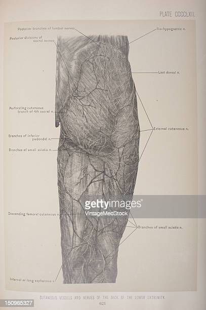 The communicating branch to the anterior cutaneous and saphenous branches of the femoral is continued down as a cutaneous branch to the thigh and leg...