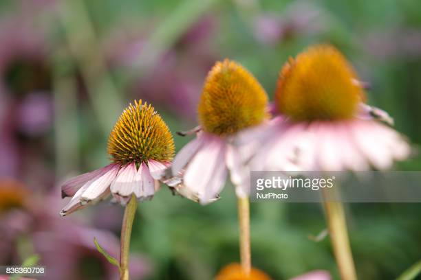 The cone shaped heads of daisy flowers are seen in a park in the center of the city on 19 August 2017