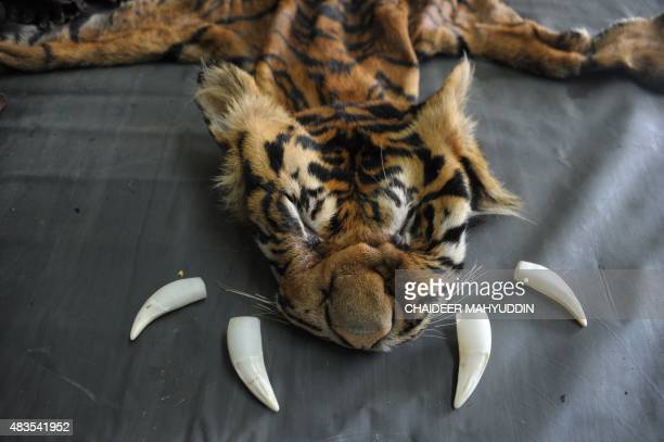 The confiscated skin and teeth of a critically endangered Sumatran tiger are displayed at a police station in Banda Aceh the capital of Aceh province...