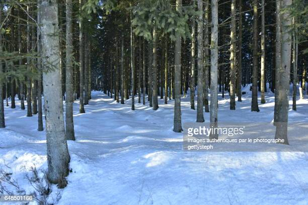 The coniferous trees a rows in winter