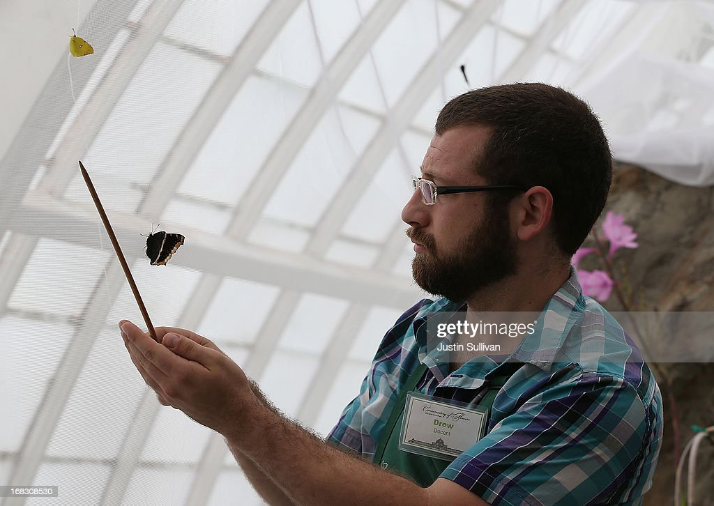 The Conservatory of Flowers docent Drew Risner-Davis attempts to catch a Mourning Cloak butterfly on a stick during the first day of the 'Butterflies and Blooms' exhibit at the Conservatory of Flowers in Golden Gate Park on May 8, 2013 in San Francisco, California. The popular 'Butterflies and Blooms' exhibit has returned to the Conservatory of Flowers and features more than 20 species of North American butterflies including Monarchs, Western Swallowtails and more.
