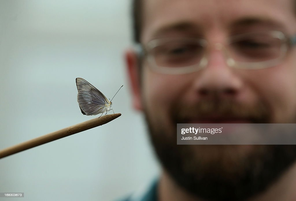 The Conservatory of Flowers docent Drew Risner-Davis holds a butterfly on a stick during the first day of the 'Butterflies and Blooms' exhibit at the Conservatory of Flowers in Golden Gate Park on May 8, 2013 in San Francisco, California. The popular 'Butterflies and Blooms' exhibit has returned to the Conservatory of Flowers and features more than 20 species of North American butterflies including Monarchs, Western Swallowtails and more.