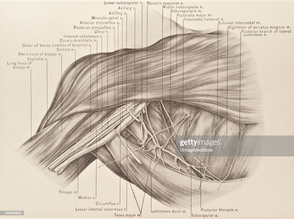 The contents of the axilla are the axillary vein and its branches the axillary artery and it branches the axillary or brachial plexus of nerves and...
