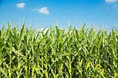 corn,plant,agriculture