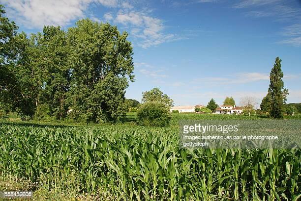 The cornfield in P?rigord Vert