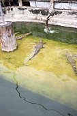 The crocodile in the pond is jumping from the water to eat meat