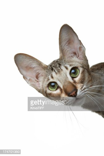 The curious oriental cat