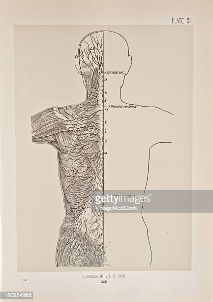 The cutaneous nerves are accompanied by the cutaneous branches of th dorsal branches of the intercostal and lumbar arteries 1899 From 'The Treatise...