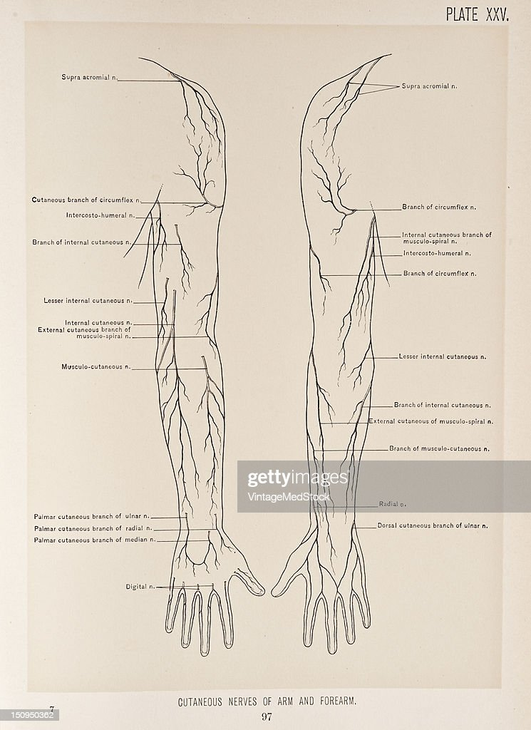 The cutaneous nerves of the arm include the Superior lateral Inferior lateral Posterior and the Medial 1899 From 'The Treatise of the Human Anatomy...