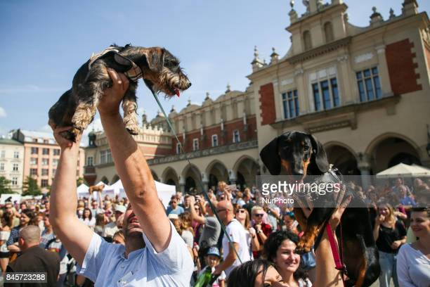 The Dachshund Parade marched the Royal Route to enter the Main Square in Krakow Poland on 10 September 2017 During this annual parade doglovers and...