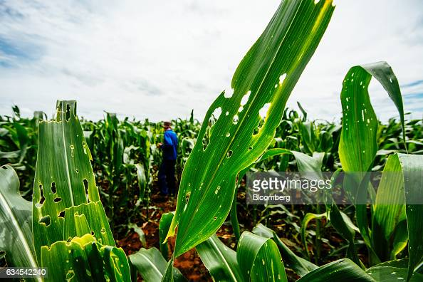 The damaged leaves of corn plants caused by an infestation of fall armyworms also known as Spodoptera frugiperda stand on a farm north of Pretoria...