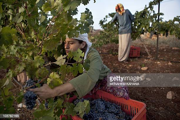 The daughter of Yoram Cohen harvests grapes in her father's vineyard located in the mountains around the Ofra Jewish settlement in the Israeli...