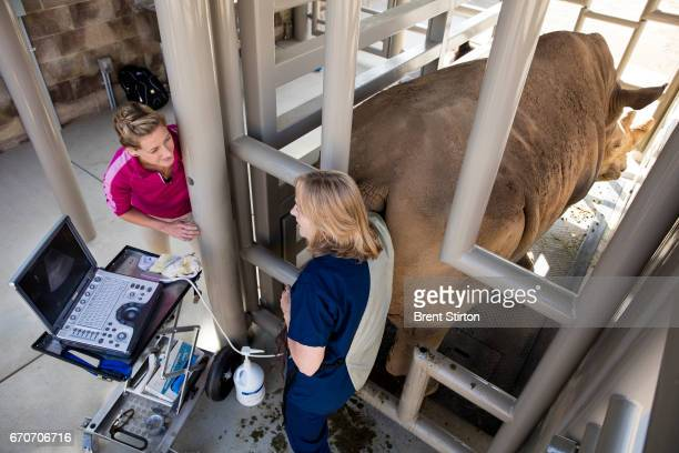Dr Barbara Durrant the Henshaw Chair and Director of Reproductive Physiology at the San Diego Zoo Institute for Conservation Research performs an...