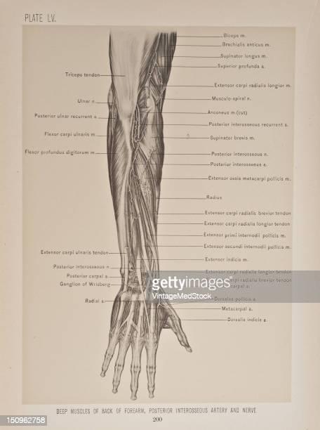 supinator brevis extensor ossis metacarpi pollicis extensor primi internodii pollicis extensor secundi internodii pollicis and extensor indicis 1899...