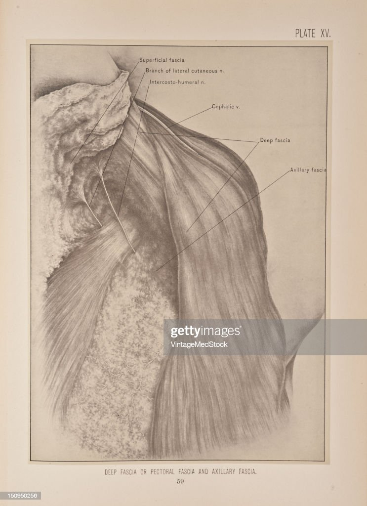The deep fascia or pectoral fascia is continuous with that of the neck shoulder arm back and abdomen 1899 From 'The Treatise of the Human Anatomy and...