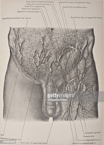 The deep layer of the superficial fascia is attached to the fascia lata about one inch below Poupart's ligament 1903 From 'Surgical Anatomy The...
