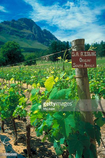 The Delheim Estates winery in Stellenbosch South African wine region Western Cape South Africa Riesling vines