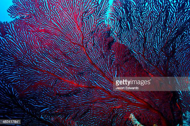 The delicate fingers of a flaming red Sea Fan a type of Gorgonian.