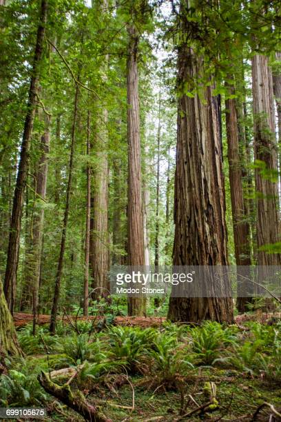 The dense forest with towering trees in the forest of Redwoods National Park, CA.