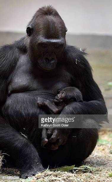 The Denver Zoo announces the birth of a western lowland female gorilla named Whimsie Adepa She was born to mother Tinga and father Jim just before...