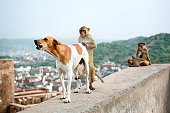 The monkey and dog during copulation. Galwar Bagh, Monkey Temple, Jaipur, India