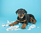 Funny Rottweiler puppy that looks like he is eating someone's homework on a blue background with copy space.