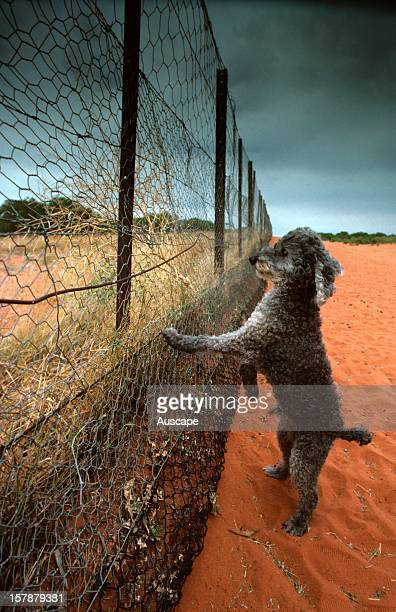 The Dog Fence and pet poodle Camerons Corner Simpson Desert Qld/NSW Australia