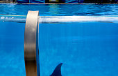 The Dorsal fin of a Killer Whale is seen while swimming in a tank at Shamu Stadium at Seaworld in San Diego CA on Tuesday June 24 2014 After last...