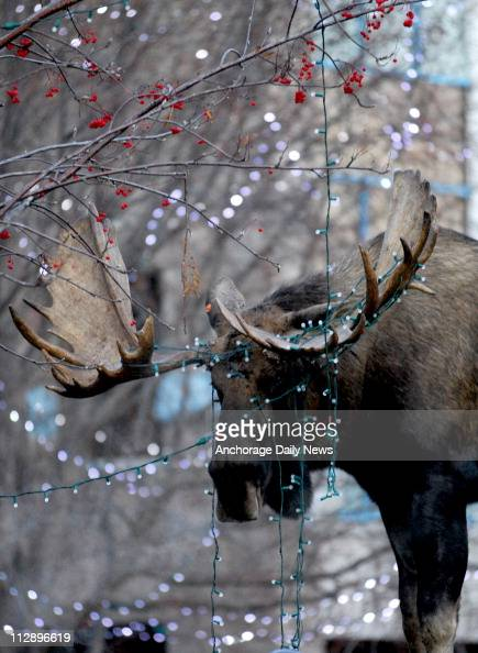 moose and lights pictures getty images