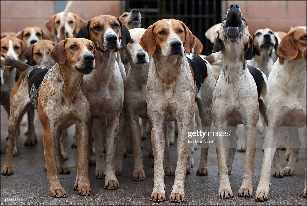 The Duke of Buccleugh's Fox hounds eagerly await being released from their Kennel to take part in a fox hunt on November 08, 2011 in St Boswells, Scotland.
